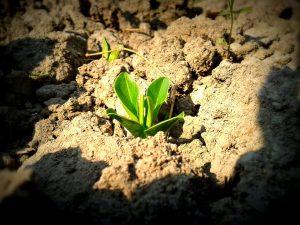 Planta, växa